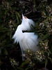 Male Snowy Egret displays for a female.<br /> Lakeshore Park, Newark, California<br /> 1004LN-SE11