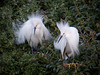 Male Snowy Egrets display for a female.  The one on the right is younger.<br /> Lakeshore Park, Newark, California<br /> 1004LN-SEP2