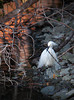 A Snowy Egret collects materials for a nest.<br /> Lakeshore Park, Newark, California<br /> 1004LN-SE9