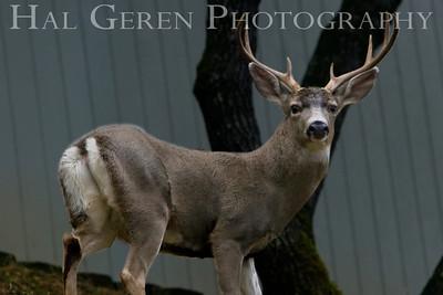 Young Buck Lake Wildwood, California. 0811L-B3