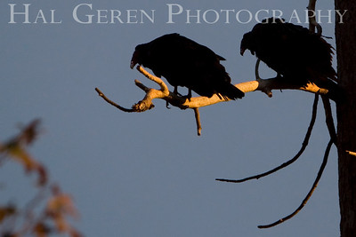 To heck with waiting; lets go kill something! Turkey Vultures; Lake Wildwood, California. 0811L-TB1TW