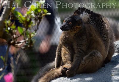 Red Ruffed Lemurs Grooming San Diego Zoo, San Diego 1905SD- RRL2G