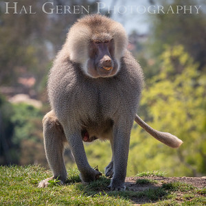 Hamadryas Baboon San Diego Zoo, San Diego 1905SD-HB6
