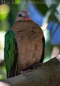 Pink Necked Green Pigeon San Diego Zoo, San Diego 1905SD- PNGP1
