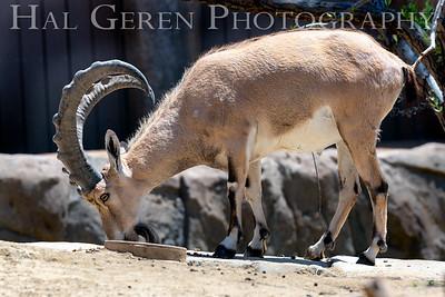 Nubian Ibex 1 San Diego Zoo, San Diego 1905SD-NI1
