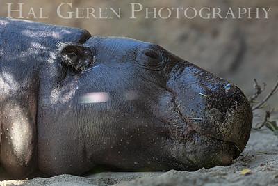 Hippo San Diego Zoo, San Diego 1905SD-H1