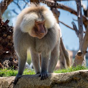 Hamadryas Baboon San Diego Zoo, San Diego 1905SD-HB4