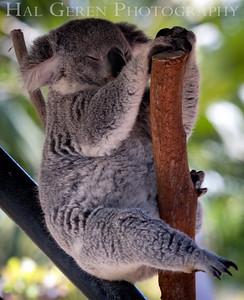 Koala Sleeping San Diego Zoo, San Diego 1905SD-K2