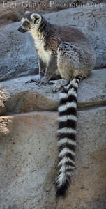 Ring Tailed Lemurs  San Diego Zoo, San Diego 1905SD- RTL4