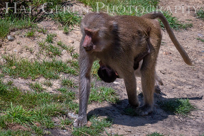 Hamadryas Baboon San Diego Zoo, San Diego 1905SD-HB3WB