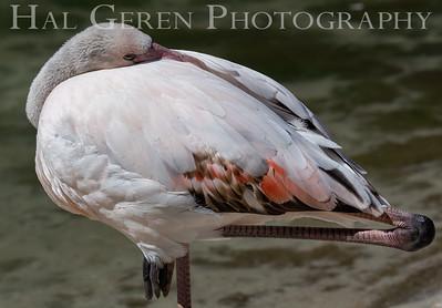 American Flamingo Juvenile Sleeping San Diego Zoo, San Diego 1905SD-F15JS