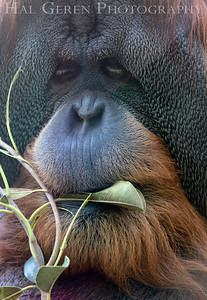Sumatran Orangutan San Diego Zoo, San Diego 1905SD-SO1