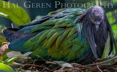 Nicobar Pigeon on Nest San Diego Zoo, San Diego 1905SD- NP3