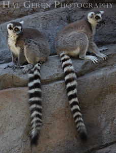 Ring Tailed Lemurs San Diego Zoo, San Diego 1905SD-RTL1