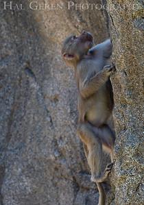 Hamadryas Baboon Baby Climbing San Diego Zoo, San Diego 1905SD-HB12BC