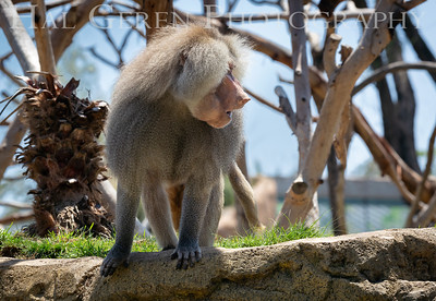 Hamadryas Baboon San Diego Zoo, San Diego 1905SD-HB9