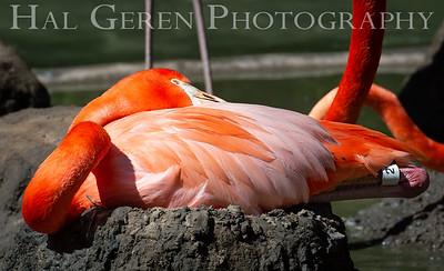 American Flamingo on Nest San Diego Zoo, San Diego 1905SD-F9ON