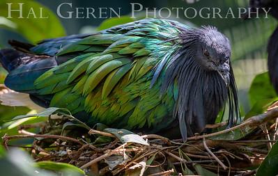 Nicobar Pigeon on Nest San Diego Zoo, San Diego 1905SD- NP1