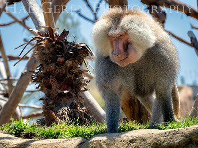 Hamadryas Baboon San Diego Zoo, San Diego 1905SD-HB5
