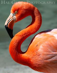 American Flamingo San Diego Zoo, San Diego 1905SD-F5
