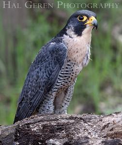 Peregrine Falcon Hayward, California 1303S-PF4