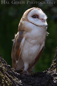 Barn Owl Hayward, California 1303S-BO8