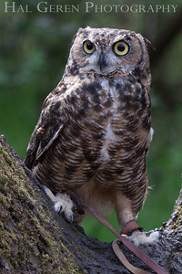Great Horned Owl Hayward, California 1303S-GHO8