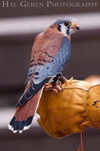 American Kestrel (aka Sparrowhawk) Hayward, California 1303S-AK3