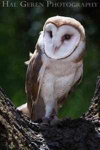 Barn Owl Hayward, California 1303S-BO4