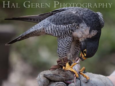 Peregrine Falcon Hayward, California 1303S-PF6EM