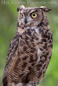 Great Horned Owl Hayward, California 1303S-GHO4