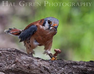 American Kestrel (aka Sparrowhawk) Hayward, California 1303S-AK4