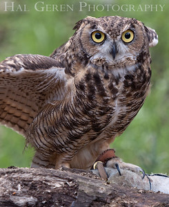 Great Horned Owl Hayward, California 1303S-GHO