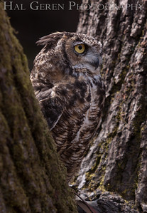 Great Horned Owl Hayward, California 1303S-GHO3