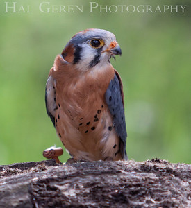 American Kestrel (aka Sparrowhawk) Hayward, California 1303S-AK5