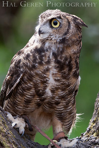 Great Horned Owl Hayward, California 1303S-GHO11