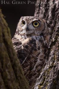 Great Horned Owl Hayward, California 1303S-GHO2