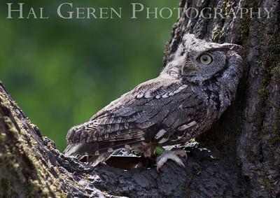 Screech Owl Hayward, California 1303S-SO4