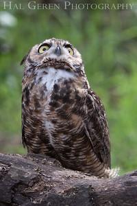 Great Horned Owl Hayward, California 1303S-GHO10