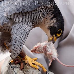 Peregrine Falcon Hayward, California 1303S-PF9EM