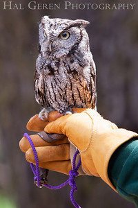 Screech Owl Hayward, California 1303S-SO3