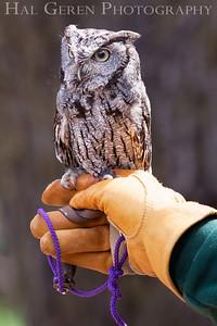 Screech Owl Hayward, California 1303S-SO3