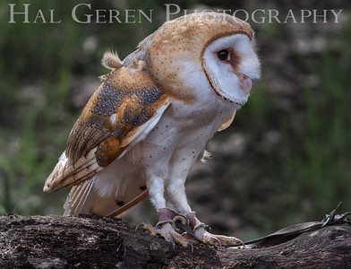 Barn Owl Hayward, California 1303S-BO7