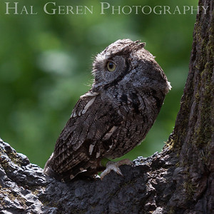 Screech Owl Hayward, California 1303S-SO6