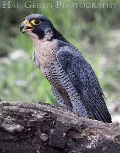 Peregrine Falcon Hayward, California 1303S-PF1