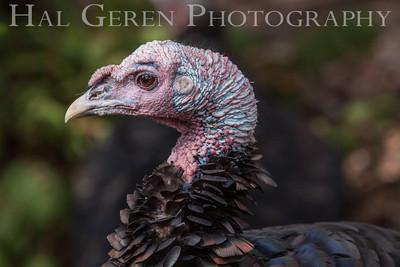 Wild Turkey Lake Wildwood, California 1309W-TP5