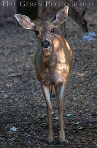 Mule Deer Lake Wildwood, California 1309W-D3