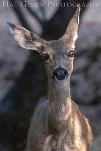 Mule Deer Lake Wildwood, California 1309W-D2