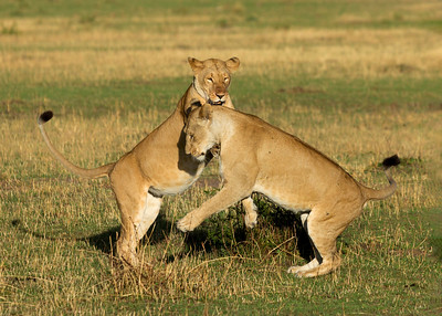 Lionesses (Panthera leo) playing