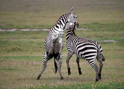 Zebras Sparring